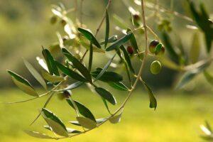 olive tree fattoria montecchio
